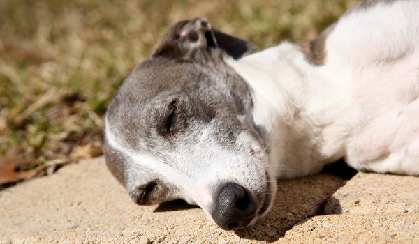 sleepinghound